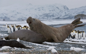 Elephant Seal Download