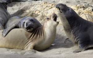 Elephant Seal HD Wallpaper