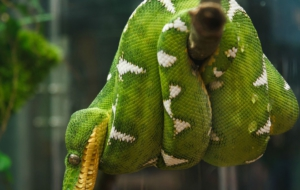 Emerald Tree Boa Download Free Backgrounds HD