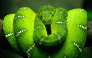 Emerald Tree Boa For Desktop