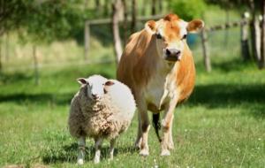 Farm Animals High Definition Wallpapers