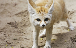 Fennec Fox HD Wallpaper