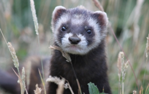 Ferret High Definition