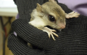 Flying Squirrel High Definition Wallpapers
