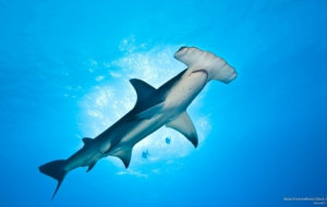 Hammerhead Shark High Definition Wallpapers