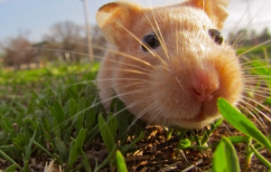 Hamster Free HD Wallpapers
