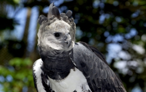 Harpy Eagle HD Background