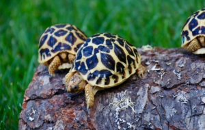 Indian Star Tortoise Images