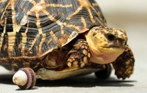 Indian Star Tortoise Wallpapers