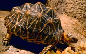 Indian Star Tortoise Wallpapers HD