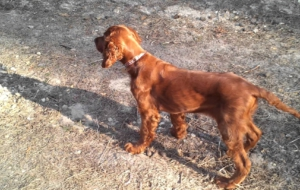 Irish Setter Desktop Images