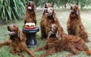 Irish Setter Images