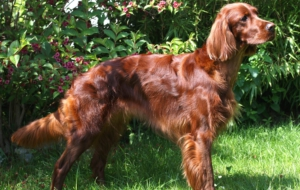 Irish Setter Wallpapers