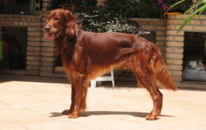 Irish Setter Wallpapers HQ