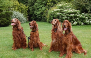 Irish Setter Widescreen