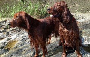 Irish Setter For Desktop Background