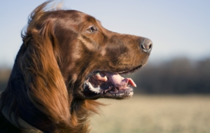 Irish Setter Full HD