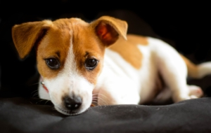 Jack Russell Terrie Background