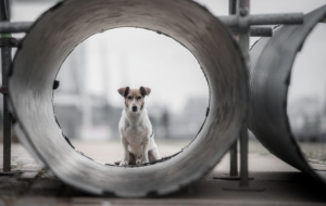 Jack Russell Terrie HD Background
