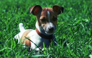 Jack Russell Terrie Photos