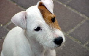 Jack Russell Terrie Pictures