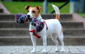 Jack Russell Terrie Wallpaper For Laptop