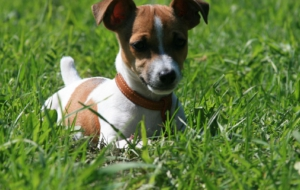 Jack Russell Terrie Wallpapers HQ
