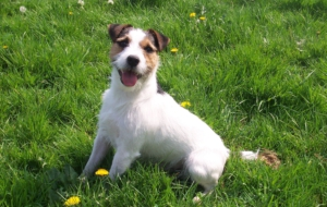 Jack Russell Terrie Wallpapers And Backgrounds