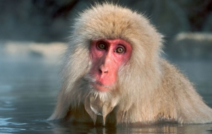 Japanese Macaque 4K
