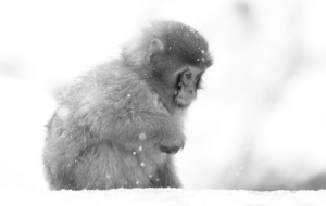 Japanese Macaque HD Desktop
