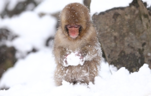 Japanese Macaque HD Wallpaper