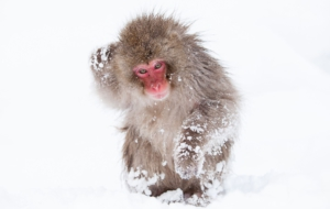 Japanese Macaque Wallpaper For Computer