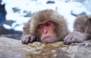 Japanese Macaque For Desktop