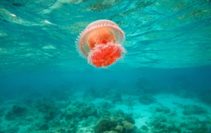 Jellyfish Wallpapers HQ