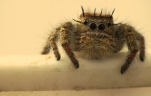 Jumping Spider High Definition