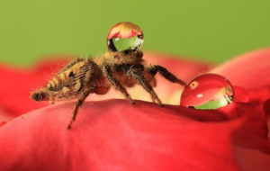 Jumping Spider For Desktop