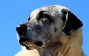 Kangal Dog Full HD