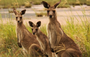 Kangaroo Wallpapers And Backgrounds