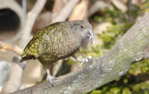 Kea High Definition Wallpapers