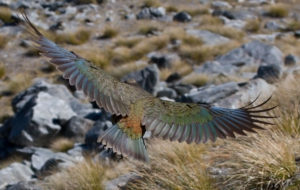 Kea Full HD