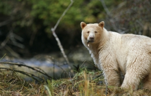 Kermode Bear Computer Backgrounds