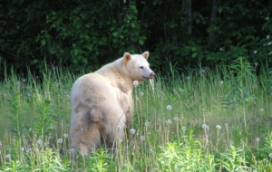 Kermode Bear HD Wallpaper