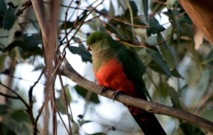 King Parrot Computer Backgrounds