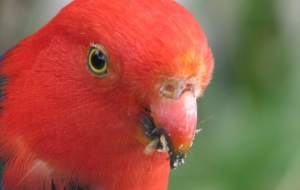 King Parrot High Definition Wallpapers