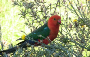 King Parrot High Quality Wallpapers