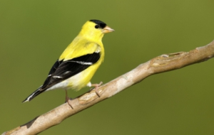 Pictures Of American Goldfinch
