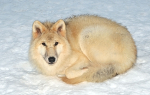 Pictures Of Arctic Wolf