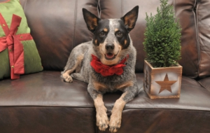 Pictures Of Australian Cattle Dog