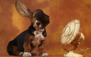 Pictures Of Basset Hound
