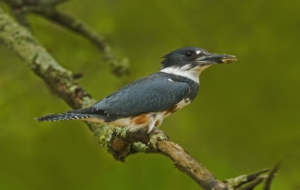 Pictures Of Belted Kingfisher